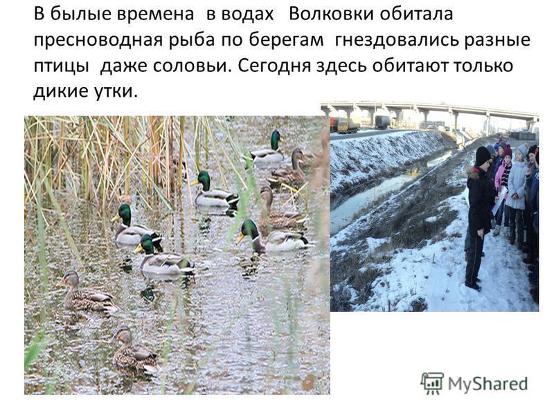 В былые времена в водах Волковки обитала пресноводная рыба по берегам гнездовались разные птицы даже соловьи. Сегодня здесь обитают только дикие утки.