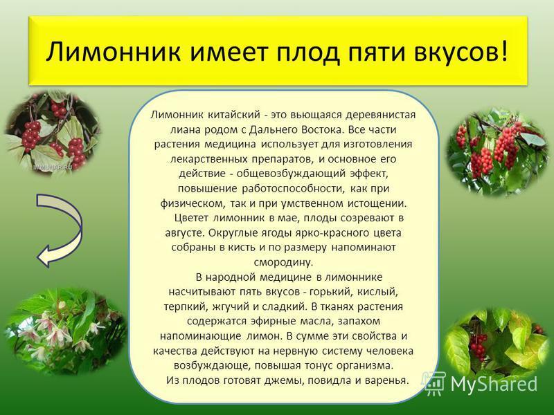 Лимонник имеет плод пяти вкусов! Лимонник китайский - это вьющаяся деревянистая лиана родом с Дальнего Востока. Все части растения медицина использует для изготовления лекарственных препаратов, и основное его действие - обще возбуждающий эффект, повы