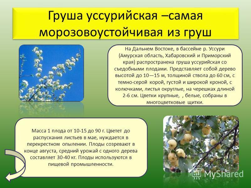 Груша уссурийская –самая морозоустойчивая из груш На Дальнем Востоке, в бассейне р. Уссури (Амурская область, Хабаровский и Приморский края) распространена груша уссурийская со съедобными плодами. Представляет собой дерево высотой до 1015 м, толщиной