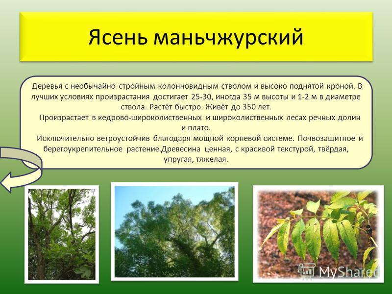 Ясень маньчжурский Деревья с необычайно стройным колонновидным стволом и высоко поднятой кроной. В лучших условиях произрастания достигает 25-30, иногда 35 м высоты и 1-2 м в диаметре ствола. Растёт быстро. Живёт до 350 лет. Произрастает в кедрово-ши
