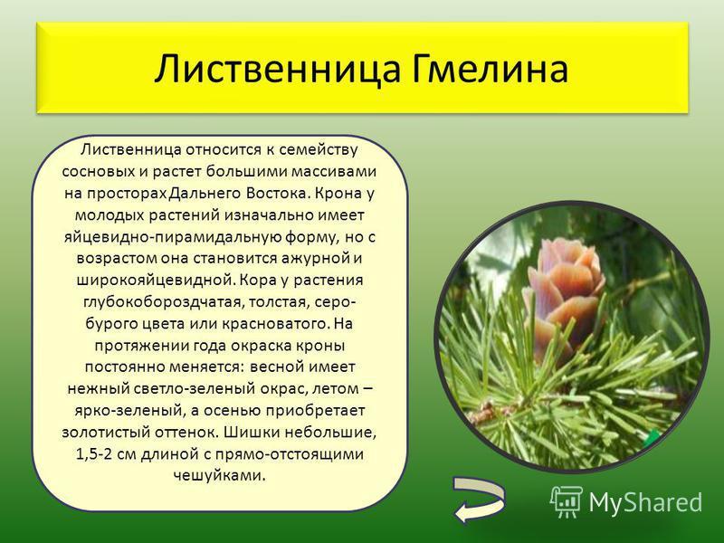 Лиственница Гмелина Лиственница относится к семейству сосновых и растет большими массивами на просторах Дальнего Востока. Крона у молодых растений изначально имеет яйцевидно-пирамидальную форму, но с возрастом она становится ажурной и широкояйцевидно