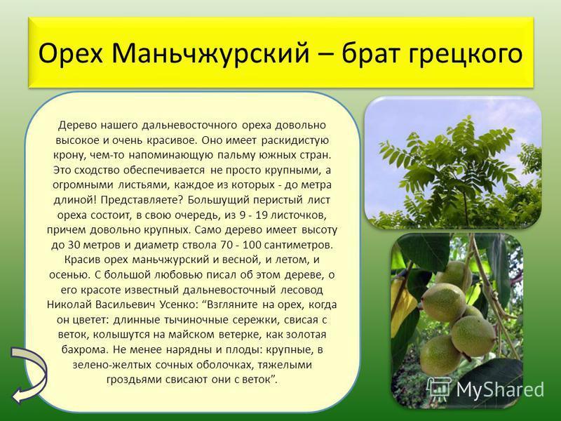 Орех Маньчжурский – брат грецкого Дерево нашего дальневосточного ореха довольно высокое и очень красивое. Оно имеет раскидистую крону, чем-то напоминающую пальму южных стран. Это сходство обеспечивается не просто крупными, а огромными листьями, каждо