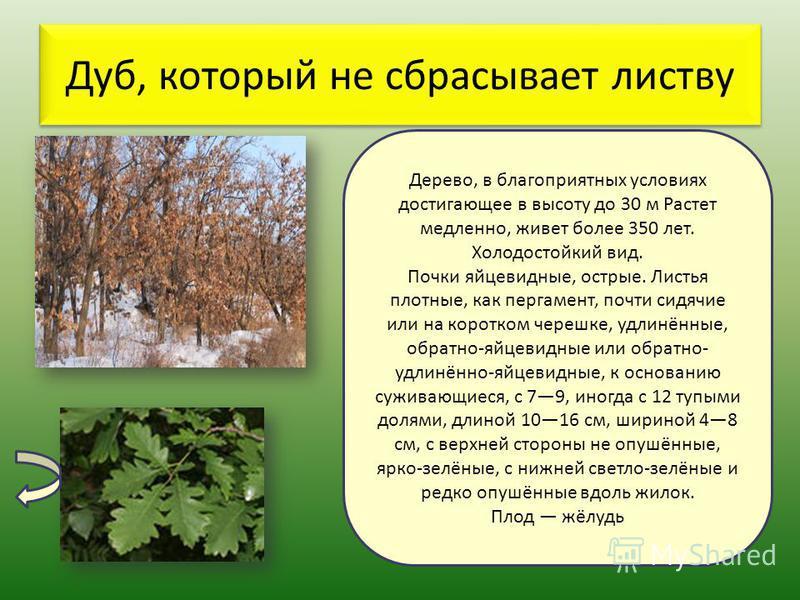 Дуб, который не сбрасывает листву Дерево, в благоприятных условиях достигающее в высоту до 30 м Растет медленно, живет более 350 лет. Холодостойкий вид. Почки яйцевидные, острые. Листья плотные, как пергамент, почти сидячие или на коротком черешке, у