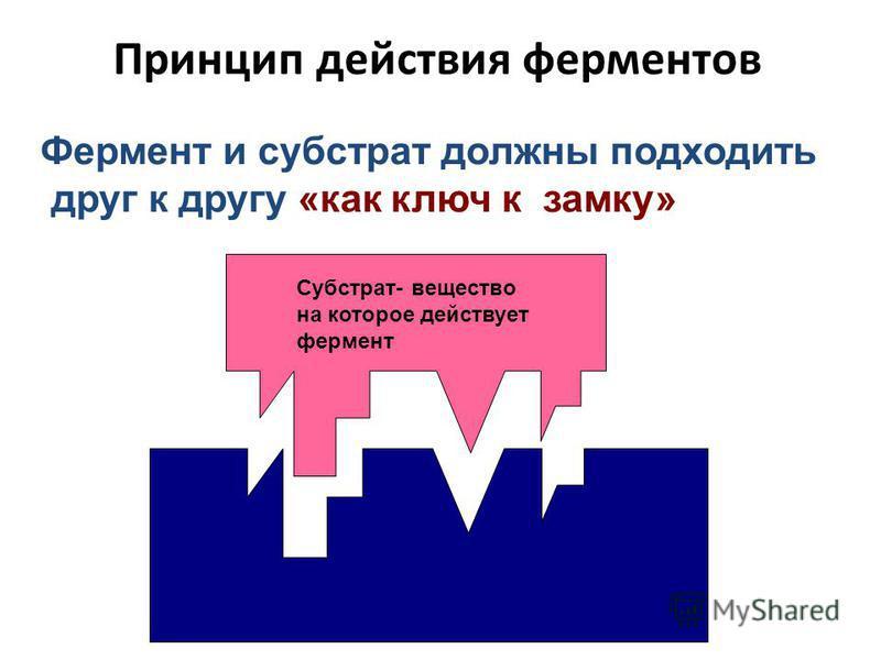 Принцип действия ферментов Фермент и субстрат должны подходить друг к другу «как ключ к замку» Субстрат- вещество на которое действует фермент
