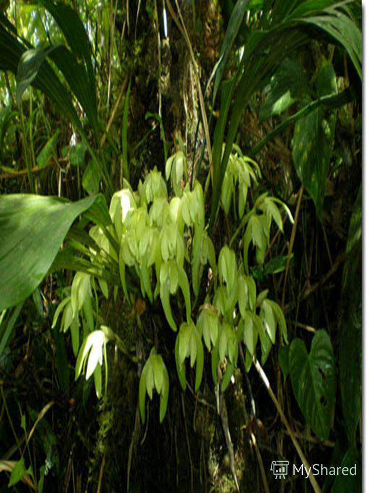 Орхидеи добывают воду Около половины орхидей в мире обитают на ветвях других растений. Они обычно имеют толстые листья с восковой поверхностью, задерживающей испарение влаги. Некоторые виды орхидей имеют пустотелые стебли, в которых хранится вода.