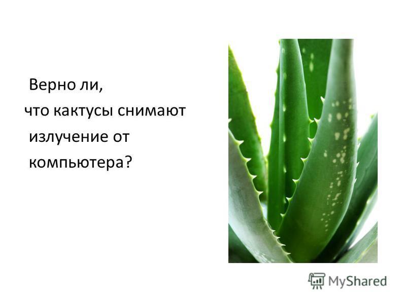 Верно ли, что кактусы снимают излучение от компьютера?