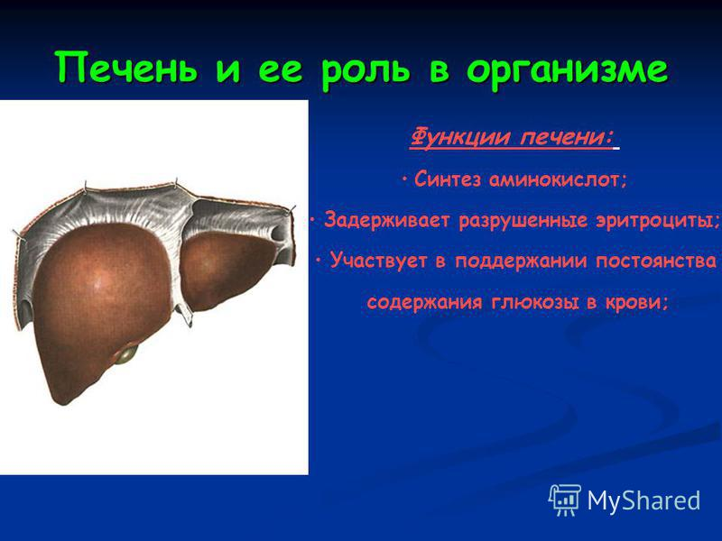 Печень и ее роль в организме Функции печени: Синтез аминокислот; Задерживает разрушенные эритроциты; Участвует в поддержании постоянства содержания глюкозы в крови;