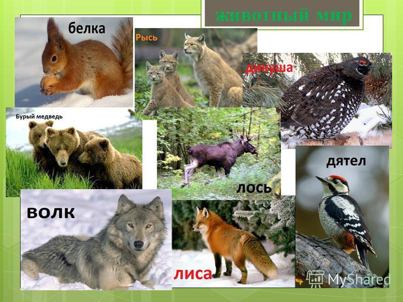 ЖИВОТНЫЙ МИР. Животный мир таёжной зоны Евразии очень богат. Здесь обитают как крупные хищники бурый медведь, волк, рысь, лисица, так и хищники поменьше выдра, норка, куница, росомаха, соболь, ласка, горностай. Немало таёжных животных переживает долг