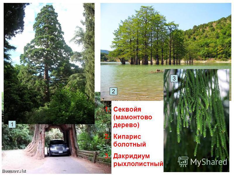 1. Секвойя (мамонтово дерево) 2. Кипарис болотный 3. Дакридиум рыхлолистный 1 3 2