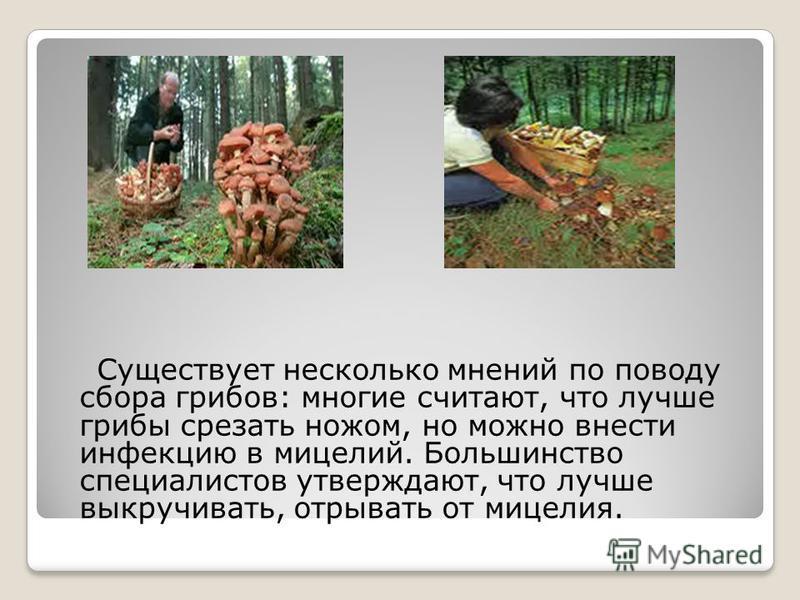 Существует несколько мнений по поводу сбора грибов: многие считают, что лучше грибы срезать ножом, но можно внести инфекцию в мицелий. Большинство специалистов утверждают, что лучше выкручивать, отрывать от мицелия.