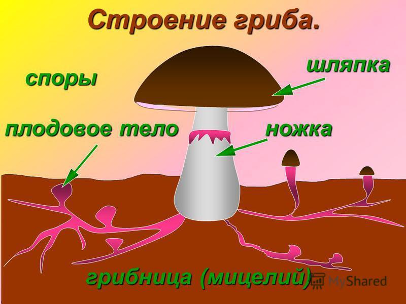 шляпка грибница (мицелий) плодовое тело ножка Строение гриба. споры