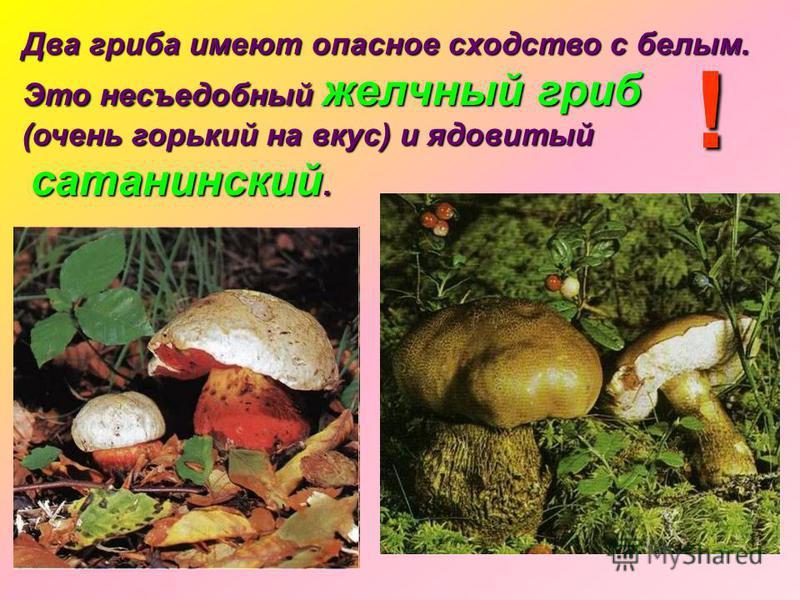 Два гриба имеют опасное сходство с белым. Это несъедобный желчный гриб (очень горький на вкус) и ядовитый сатанинский. сатанинский. !