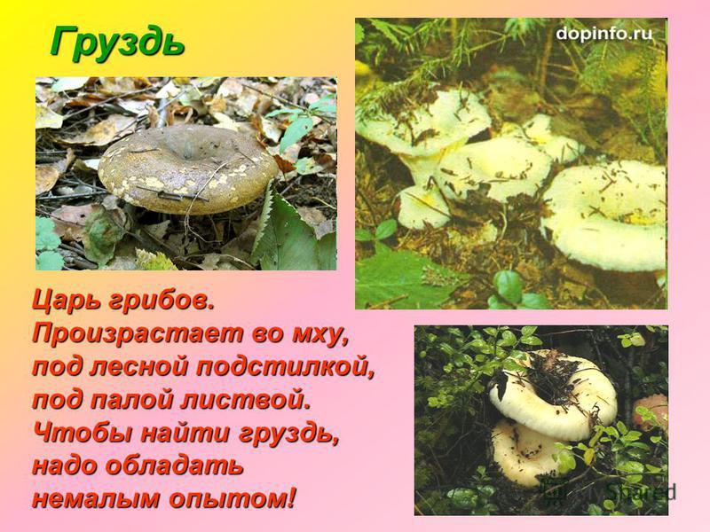 Груздь Царь грибов. Произрастает во мху, под лесной подстилкой, под палой листвой. Чтобы найти груздь, надо обладать немалым опытом!