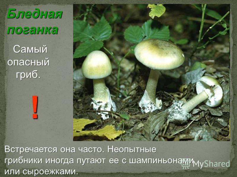Бледная поганка Самый Самый опасный опасный гриб. гриб. Встречается она часто. Неопытные грибники иногда путают ее с шампиньонами или сыроежками. !