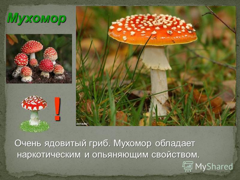 Мухомор Очень ядовитый гриб. Мухомор обладает наркотическим и опьяняющим свойством. наркотическим и опьяняющим свойством. !