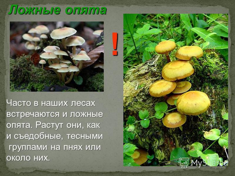 Ложные опята Часто в наших лесах встречаются и ложные опята. Растут они, как и съедобные, тесными группами на пнях или группами на пнях или около них. !