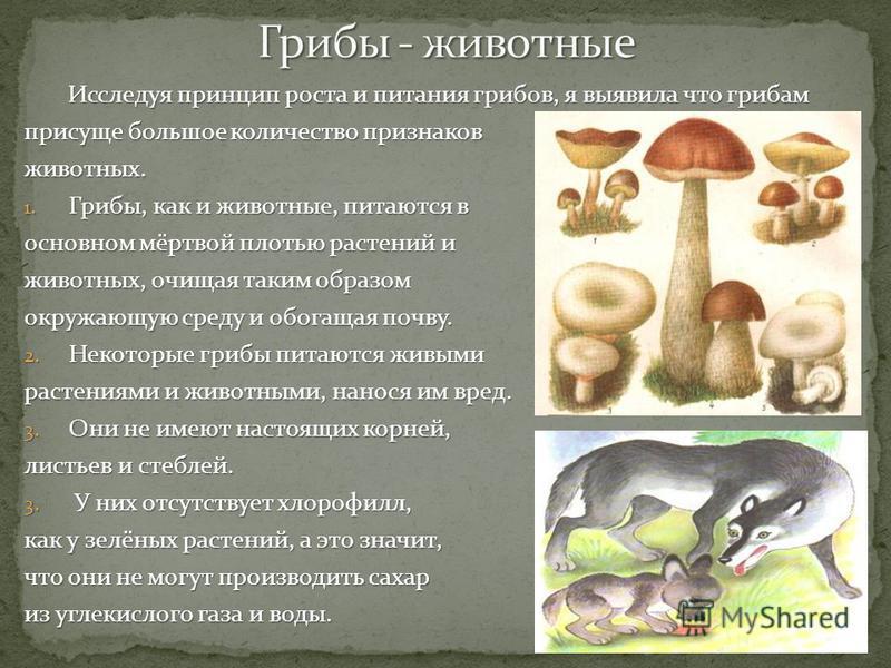 Исследуя принцип роста и питания грибов, я выявила что грибам Исследуя принцип роста и питания грибов, я выявила что грибам присуще большое количество признаков животных. 1. Грибы, как и животные, питаются в основном мёртвой плотью растений и животны