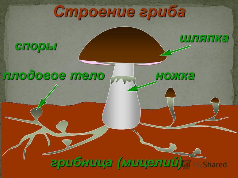 шляпка грибница (мицелий) плодовое тело ножка Строение гриба споры