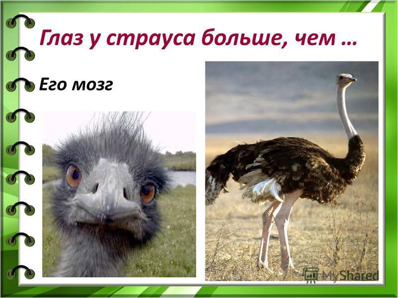 Глаз у страуса больше, чем … Его мозг