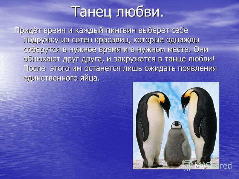 Танец любви. Танец любви. Придёт время и каждый пингвин выберет себе подружку из сотен красавиц, которые однажды соберутся в нужное время и в нужном месте. Они обнюхают друг друга, и закружатся в танце любви! После этого им останется лишь ожидать поя