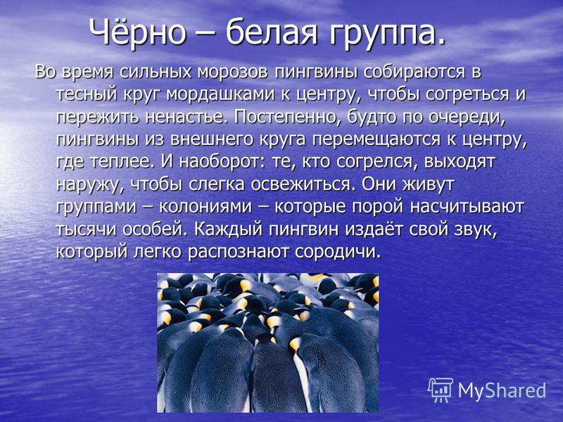 Чёрно – белая группа. Чёрно – белая группа. Во время сильных морозов пингвины собираются в тесный круг мордашками к центру, чтобы согреться и пережить ненастье. Постепенно, будто по очереди, пингвины из внешнего круга перемещаются к центру, где тепле