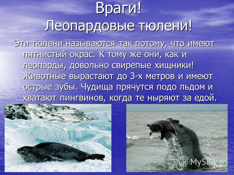 Враги! Леопардовые тюлени! Враги! Леопардовые тюлени! Эти тюлени называются так потому, что имеют пятнистый окрас. К тому же они, как и леопарды, довольно свирепые хищники! Животные вырастают до 3-х метров и имеют острые зубы. Чудища прячутся подо ль