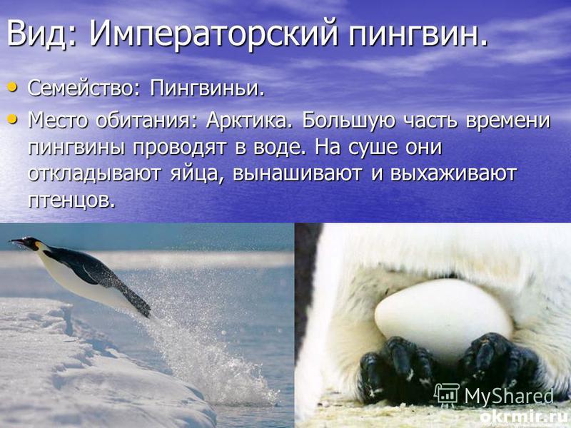 Вид: Императорский пингвин. Семейство: Пингвиньи. Семейство: Пингвиньи. Место обитания: Арктика. Большую часть времени пингвины проводят в воде. На суше они откладывают яйца, вынашивают и выхаживают птенцов. Место обитания: Арктика. Большую часть вре
