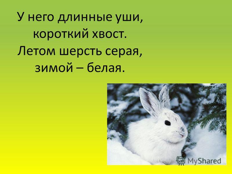 У него длинные уши, короткий хвост. Летом шерсть серая, зимой – белая.
