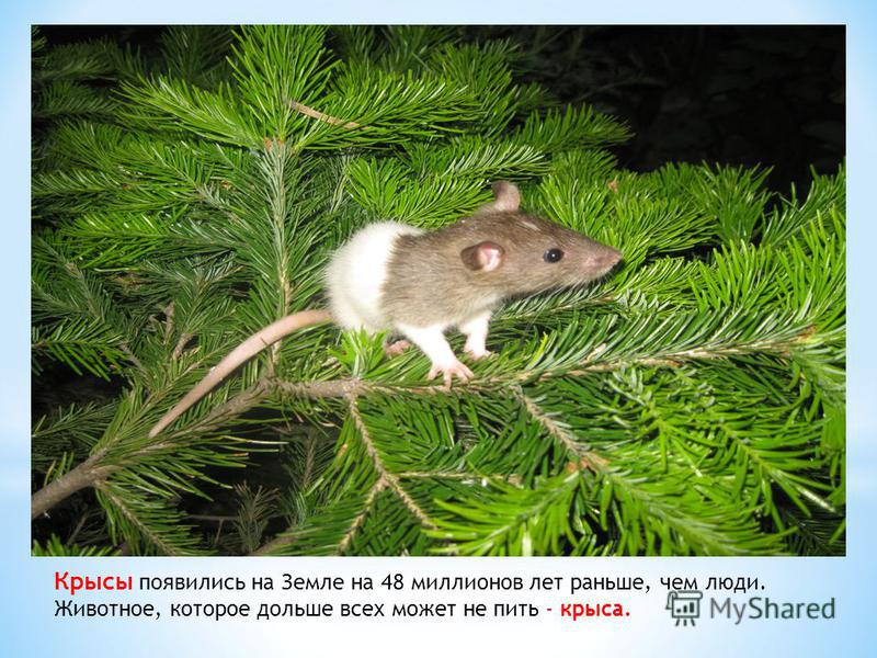 Крысы появились на Земле на 48 миллионов лет раньше, чем люди. Животное, которое дольше всех может не пить - крыса..