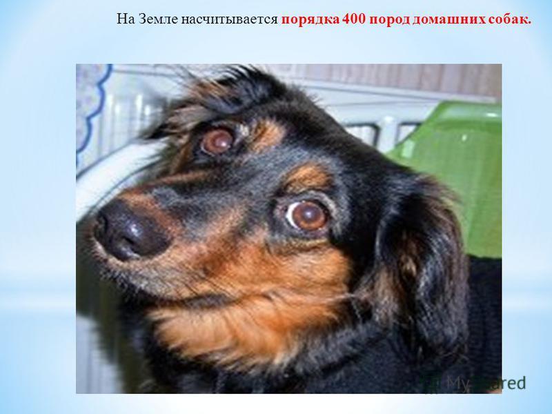На Земле насчитывается порядка 400 пород домашних собак.
