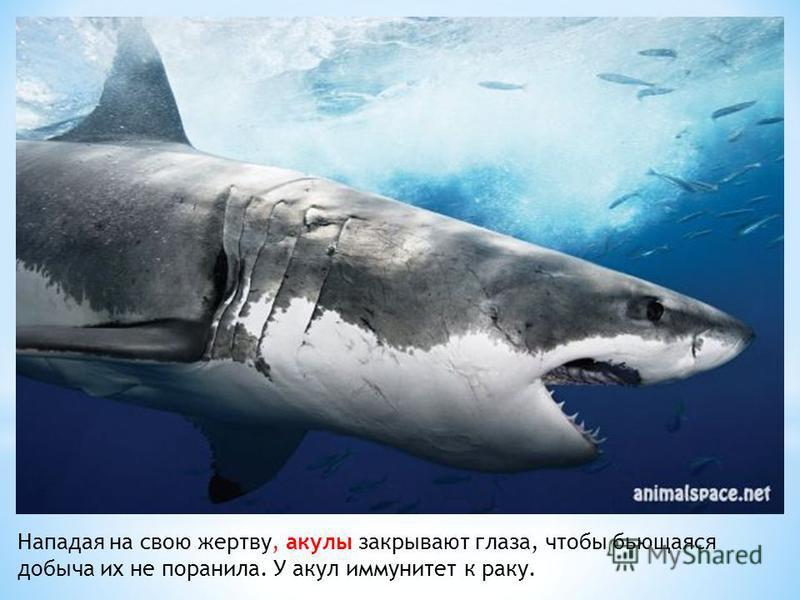 Нападая на свою жертву, акулы закрывают глаза, чтобы бьющаяся добыча их не поранила. У акул иммунитет к раку.