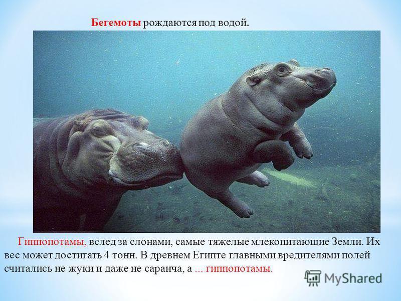 Бегемоты рождаются под водой. Гиппопотамы, вслед за слонами, самые тяжелые млекопитающие Земли. Их вес может достигать 4 тонн. В древнем Египте главными вредителями полей считались не жуки и даже не саранча, а... гиппопотамы.