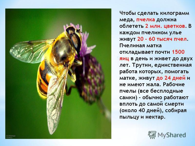 Чтобы сделать килограмм меда, пчелка должна облететь 2 млн. цветков. В каждом пчелином улье живут 20 - 60 тысяч пчел. Пчелиная матка откладывает почти 1500 яиц в день и живет до двух лет. Трутни, единственная работа которых, помогать матке, живут до