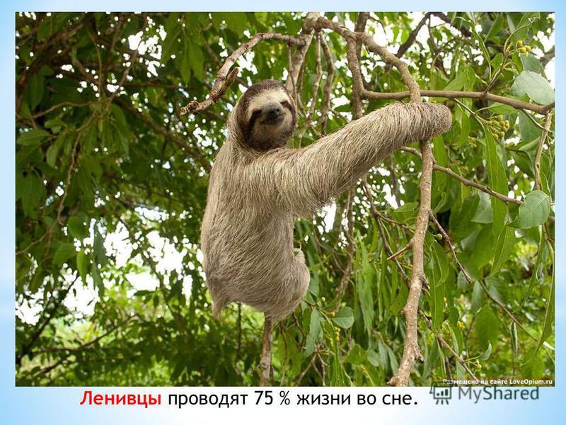Ленивцы проводят 75 % жизни во сне.