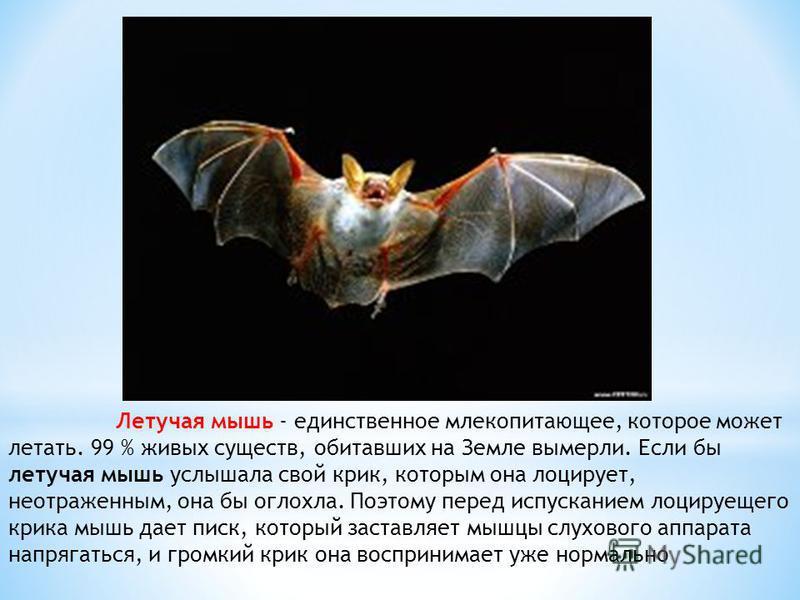 Летучая мышь - единственное млекопитающее, которое может летать. 99 % живых существ, обитавших на Земле вымерли. Если бы летучая мышь услышала свой крик, которым она лоцирует, неотраженным, она бы оглохла. Поэтому перед испусканием лоцируещего крика