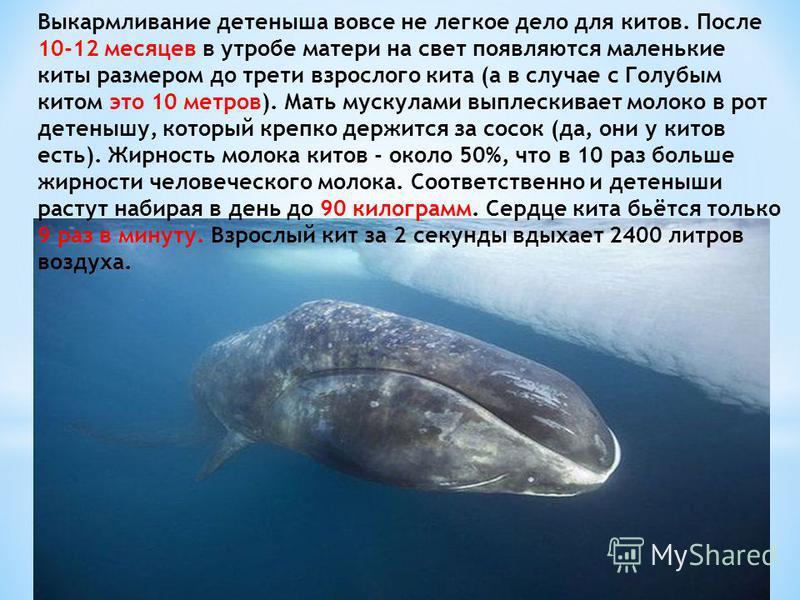 Выкармливание детеныша вовсе не легкое дело для китов. После 10-12 месяцев в утробе матери на свет появляются маленькие киты размером до трети взрослого кита (а в случае с Голубым китом это 10 метров). Мать мускулами выплескивает молоко в рот детеныш