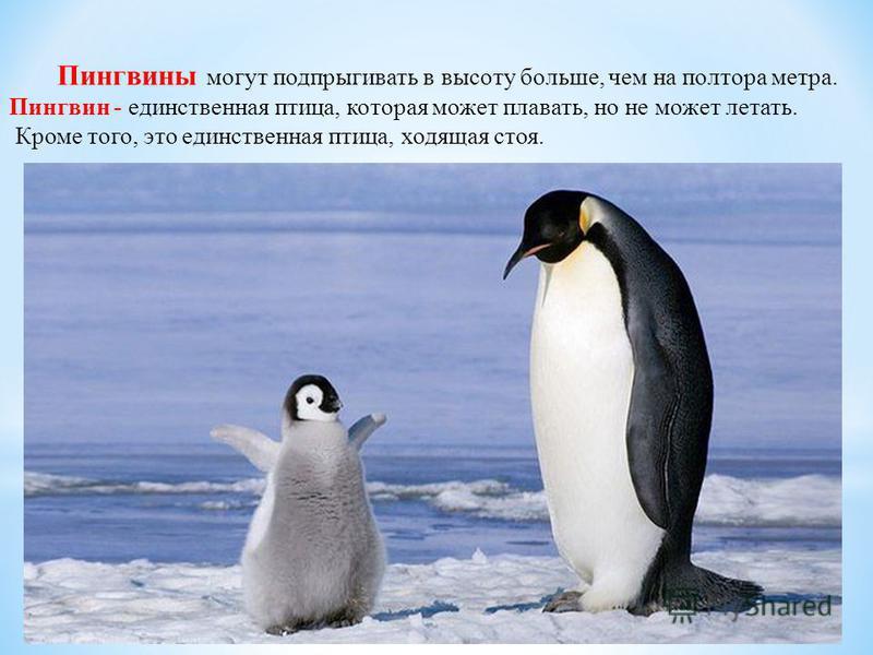 Пингвины могут подпрыгивать в высоту больше, чем на полтора метра. Пингвин - единственная птица, которая может плавать, но не может летать. Кроме того, это единственная птица, ходящая стоя.