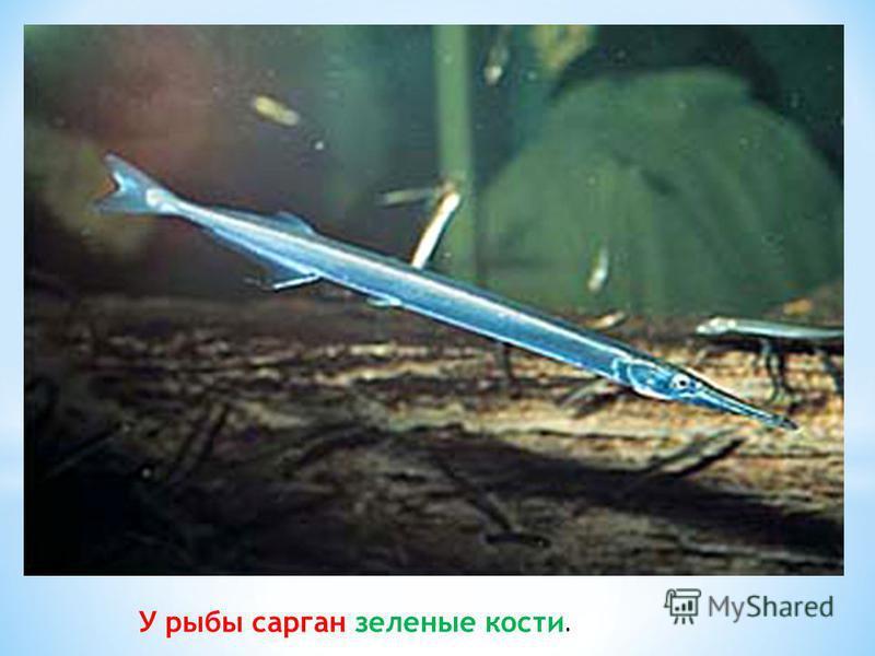 У рыбы сарган зеленые кости.