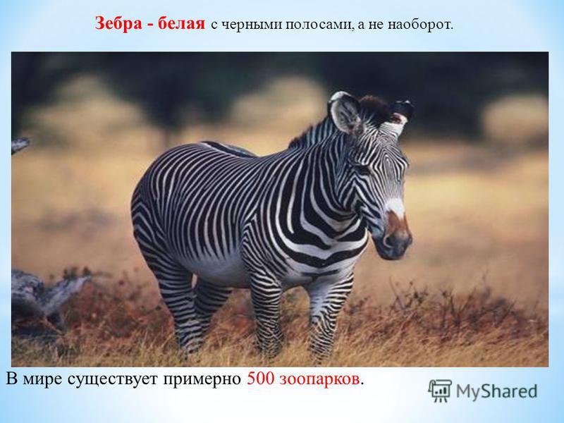 Зебра - белая с черными полосами, а не наоборот. В мире существует примерно 500 зоопарков.