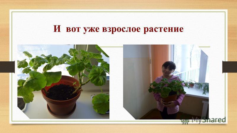 И вот уже взрослое растение