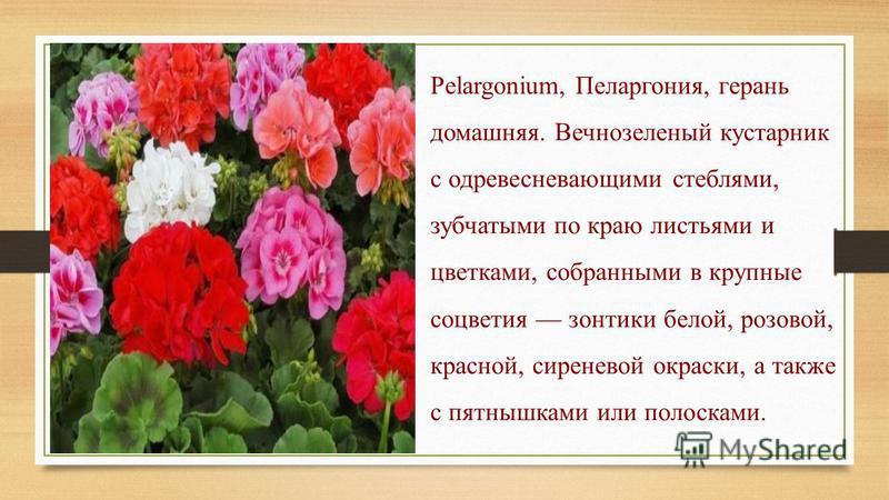 Pelargonium, Пеларгония, герань домашняя. Вечнозеленый кустарник с одревесневающими стеблями, зубчатыми по краю листьями и цветками, собранными в крупные соцветия зонтики белой, розовой, красной, сиреневой окраски, а также с пятнышками или полосками.