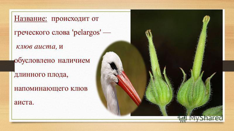 Название: происходит от греческого слова 'pelargos' клюв аиста, и обусловлено наличием длинного плода, напоминающего клюв аиста.