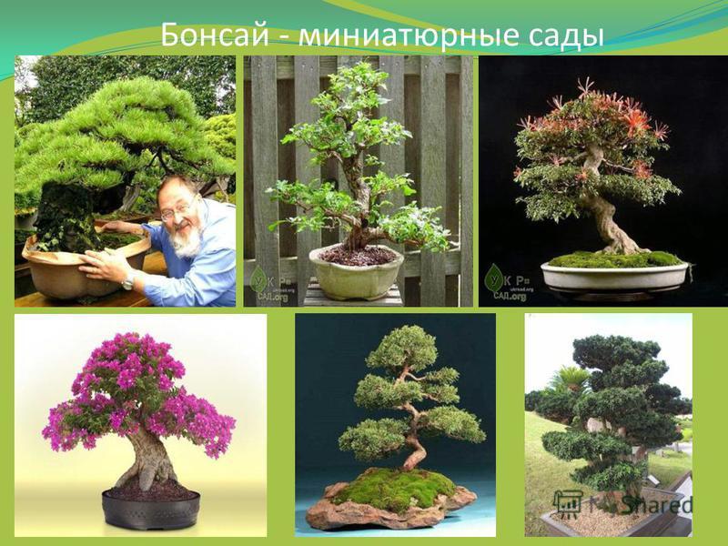 Бонсай - миниатюрные сады