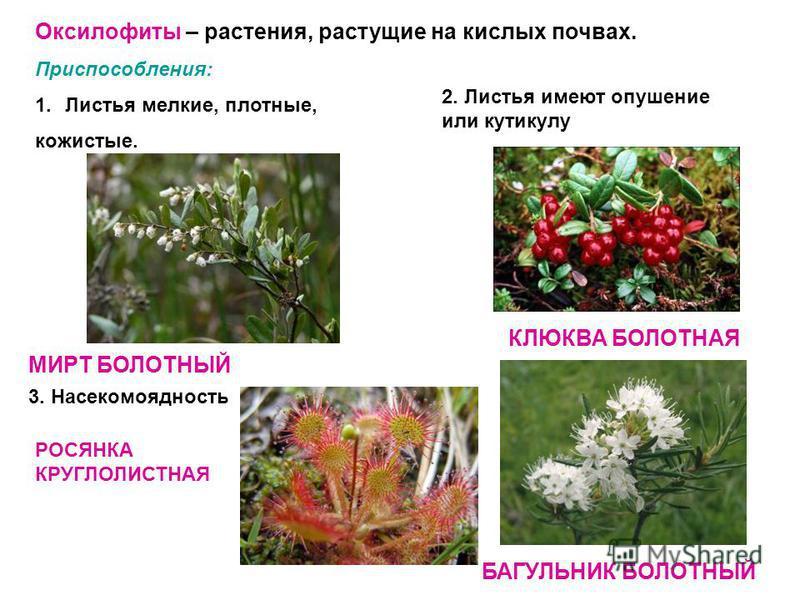 Оксилофиты – растения, растущие на кислых почвах. Приспособления: 1. Листья мелкие, плотные, кожистые. МИРТ БОЛОТНЫЙ 2. Листья имеют опушение или кутикулу КЛЮКВА БОЛОТНАЯ БАГУЛЬНИК БОЛОТНЫЙ 3. Насекомоядность РОСЯНКА КРУГЛОЛИСТНАЯ