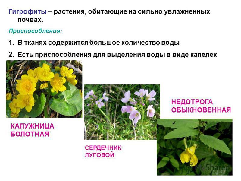 Гигрофиты – растения, обитающие на сильно увлажненных почвах. Приспособления: 1. В тканях содержится большое количество воды 2. Есть приспособления для выделения воды в виде капелек КАЛУЖНИЦА БОЛОТНАЯ СЕРДЕЧНИК ЛУГОВОЙ НЕДОТРОГА ОБЫКНОВЕННАЯ