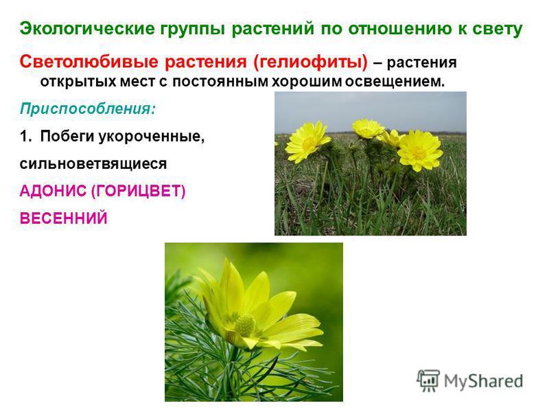 Экологические группы растений по отношению к свету Светолюбивые растения (гелиофиты) – растения открытых мест с постоянным хорошим освещением. Приспособления: 1. Побеги укороченные, сильноветвящиеся АДОНИС (ГОРИЦВЕТ) ВЕСЕННИЙ