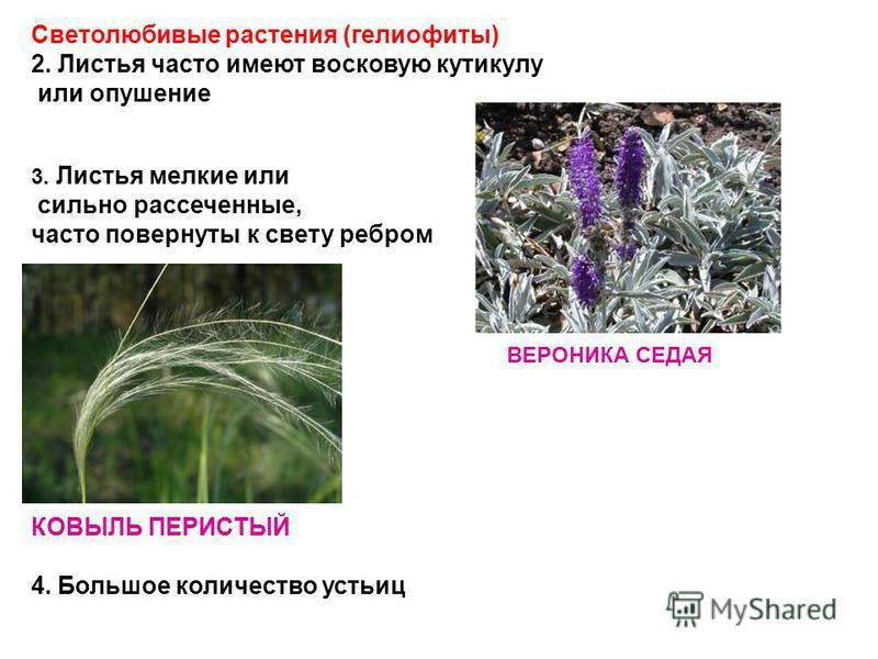 Светолюбивые растения (гелиофиты) 2. Листья часто имеют восковую кутикулу или опушение 3. Листья мелкие или сильно рассеченные, часто повернуты к свету ребром КОВЫЛЬ ПЕРИСТЫЙ 4. Большое количество устьиц ВЕРОНИКА СЕДАЯ