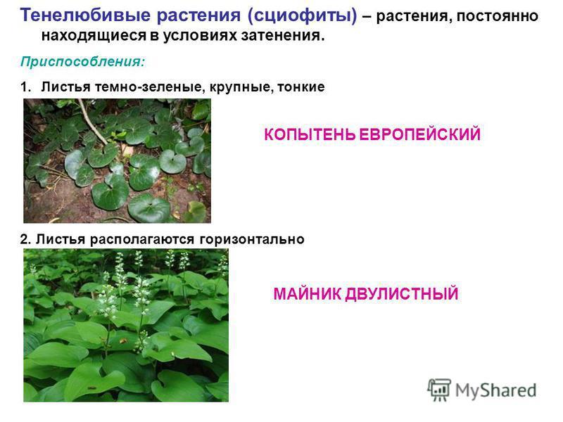Тенелюбивые растения (сциофиты) – растения, постоянно находящиеся в условиях затенения. Приспособления: 1. Листья темно-зеленые, крупные, тонкие 2. Листья располагаются горизонтально КОПЫТЕНЬ ЕВРОПЕЙСКИЙ МАЙНИК ДВУЛИСТНЫЙ