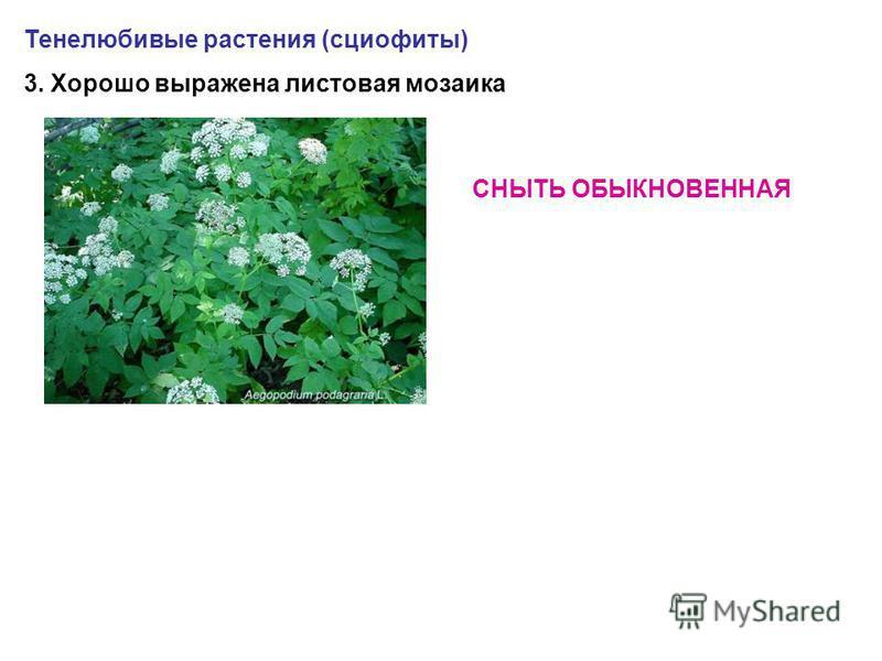 Тенелюбивые растения (сциофиты) 3. Хорошо выражена листовая мозаика СНЫТЬ ОБЫКНОВЕННАЯ