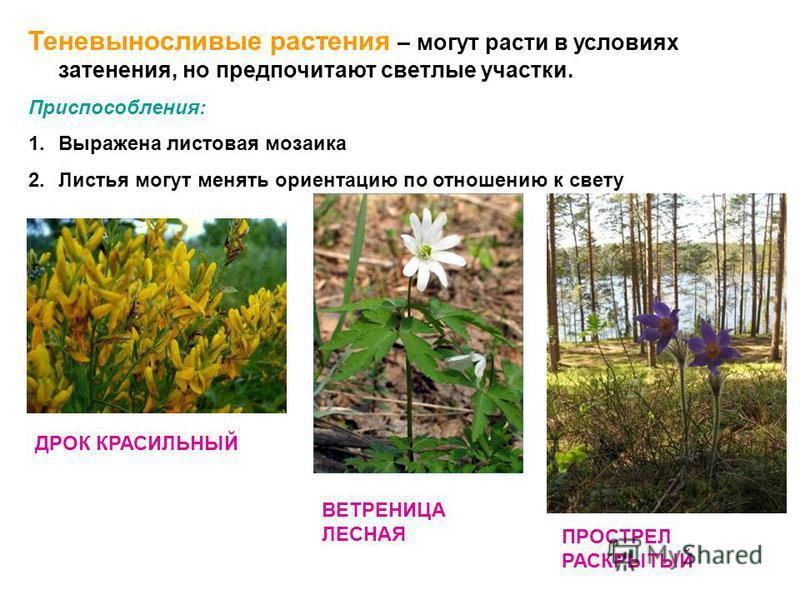 Теневыносливые растения – могут расти в условиях затенения, но предпочитают светлые участки. Приспособления: 1. Выражена листовая мозаика 2. Листья могут менять ориентацию по отношению к свету ДРОК КРАСИЛЬНЫЙ ВЕТРЕНИЦА ЛЕСНАЯ ПРОСТРЕЛ РАСКРЫТЫЙ